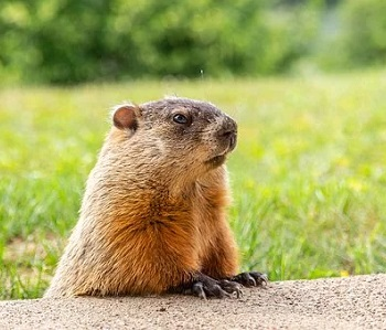 Groundhog Day is this Sunday, February 2. Do you believe in the groundhog's prediction?